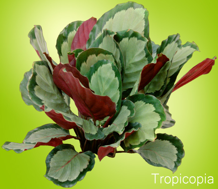 Green and purple patterned Calathea Plant.