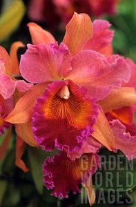 Red and orange Callteya Orchid