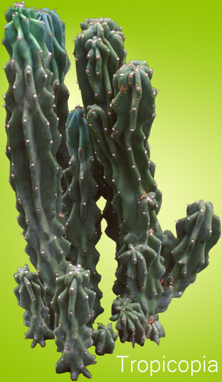 Spiney, green Cactus Plant