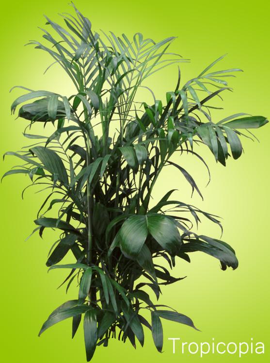 Dark green Cat Palm