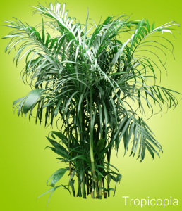 Multi-stemmed green Bamboo Palm