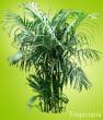 Multi-stemmed green Bamboo Palm