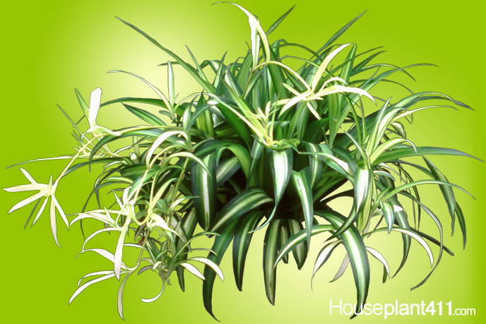 Long, narrow green and white striped leaves on a spider plant
