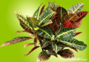 Multi-colored croton plant with leaves in green, yellow, red, and orange.