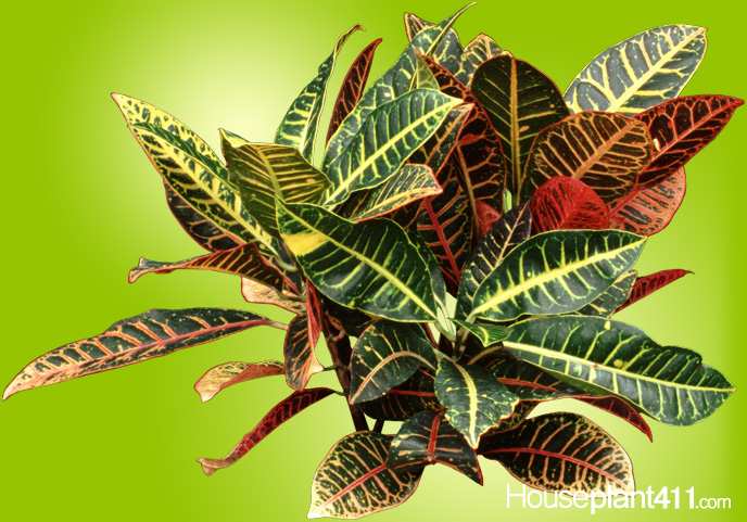 Multi Colored Croton Plant With Leaves In Green Yellow Red And Orange Click To Enlarge