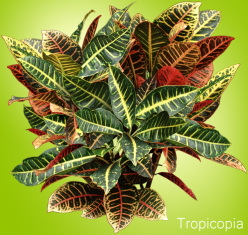 Green, yellow,and red Croton Plant