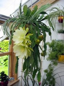 Yellow Orchid Cactus Plant