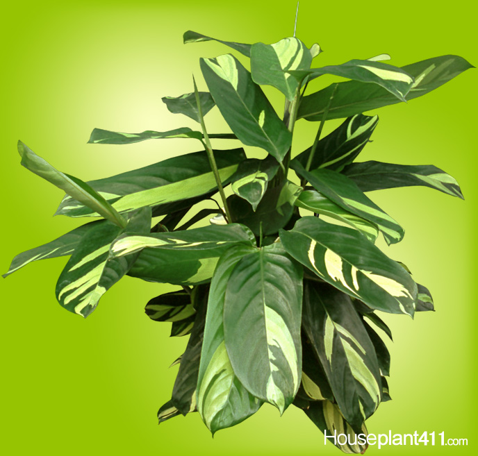 Ctenanthe plant with green and yellow patterned elliptical leaves with pale green undersides.