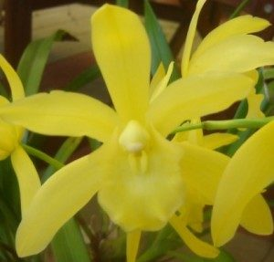 Yellow Cymbidium Golden Elf Orchid