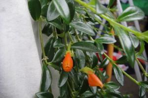 Goldfish-plant