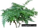 Rabbit's Foot Fern has thin, lacy, bluish, green fronds and furry, creeping, fleshy roots.