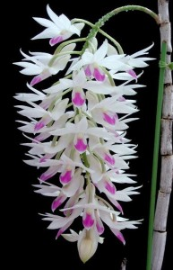 White and Purple Dendrobium Orchid