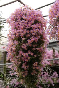 Pink dendrobium orchid