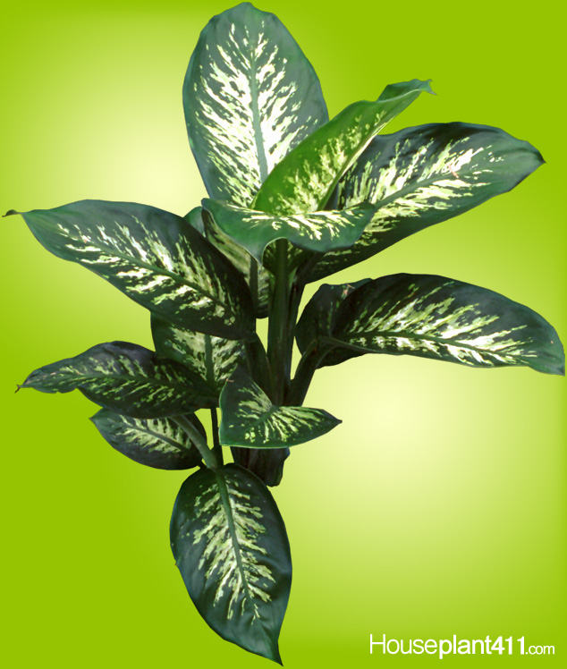 Large, broad, patterned, oblong leaves on dieffenbachia amoena tropic snow