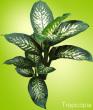 Dark green and cream colored Dieffenbachia plant