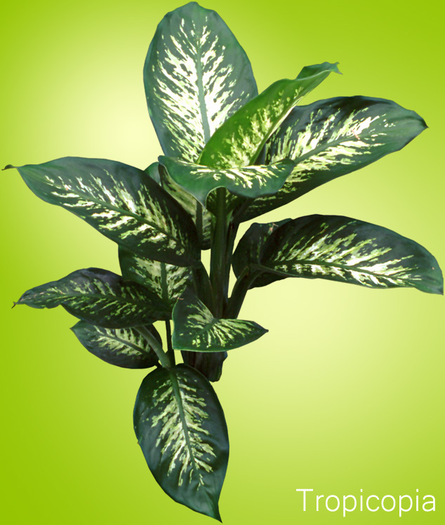 Dark green and cream colored Dieffenbachia plant