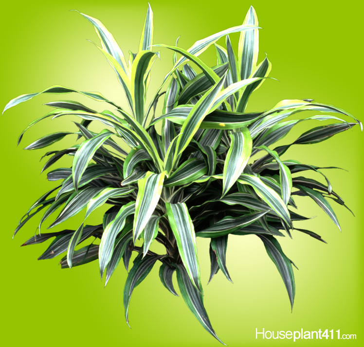 Long sword shaped leaves with bright green and yellow stripes on Dracaena Lemon Lime
