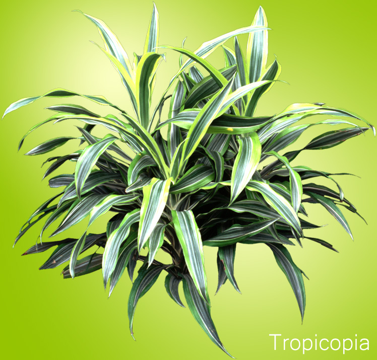 Green and yellow striped Dracaena Lemon Lime