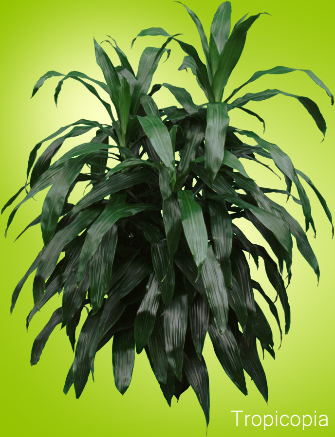 Dark green sword- shaped Dracaena
