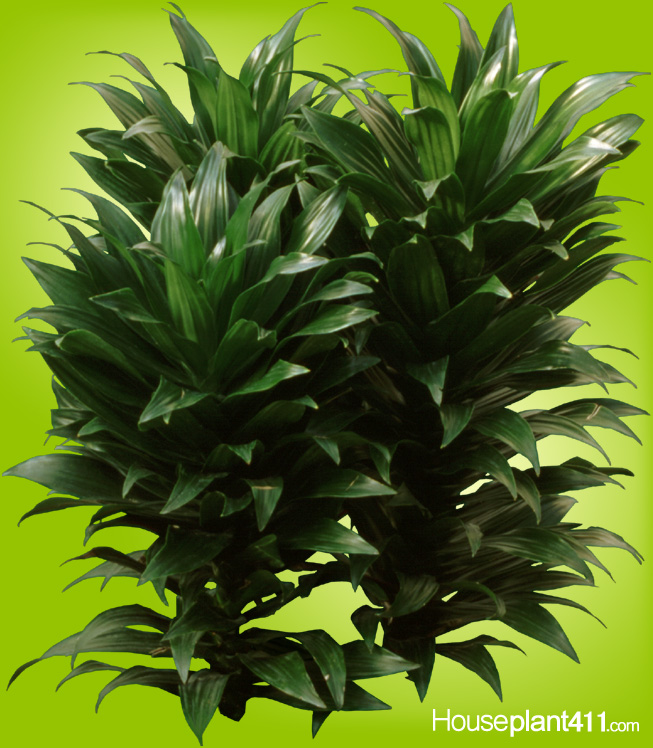 Short leathery clumps of shiney green leaves on Dracaena compacta