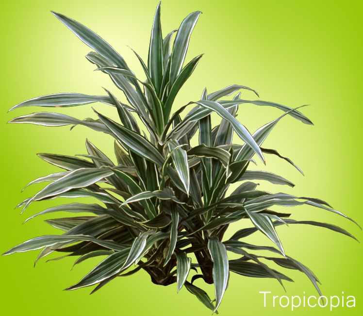 Green and white striped Dracaena Warneki
