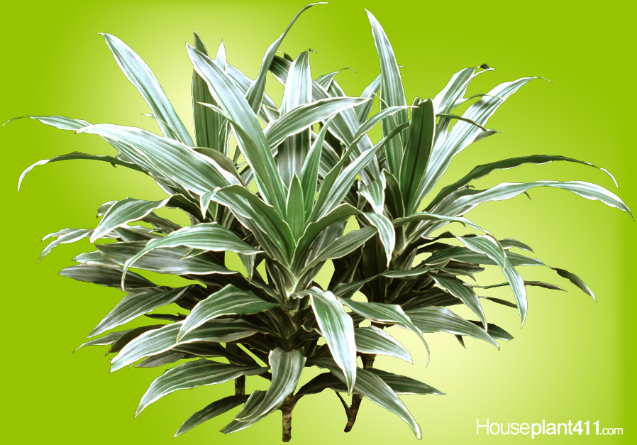 How to Grow a Dracaena Warnekii - Striped Dracaena ... White And Green Leaf Houseplants on green leaf hostas, green leaf succulents, green leaf crafts, green leaf perennials, green leaf bulbs, green leaf vegetable, green and white leaf shrubs, green leaf trees, green leaf herbs, green leaf home, green leaf recipes, green leaf cactus, green leaf nursery, green leaf hedges, green leaf cooking, green leaf spices, green leaf christmas, green leaf bonsai, green leaf garden, green leaf flowers,