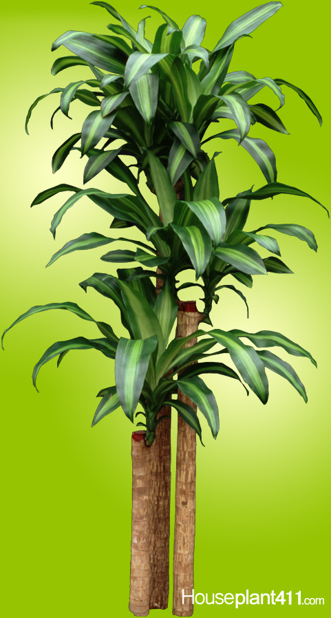 Long, graceful, green leaves with a yellow and light green stripe running down the center.