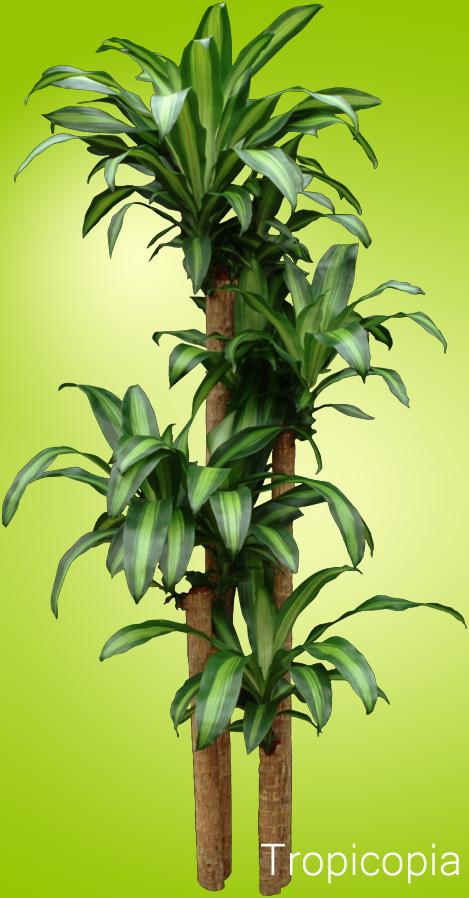 Green and yellow Dracaena Corn Plant