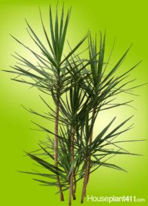 Long, narrow green leaves on dracaena marginata