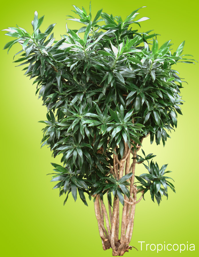 Short, narrow, pointed green leaves on Dracaena Reflexa