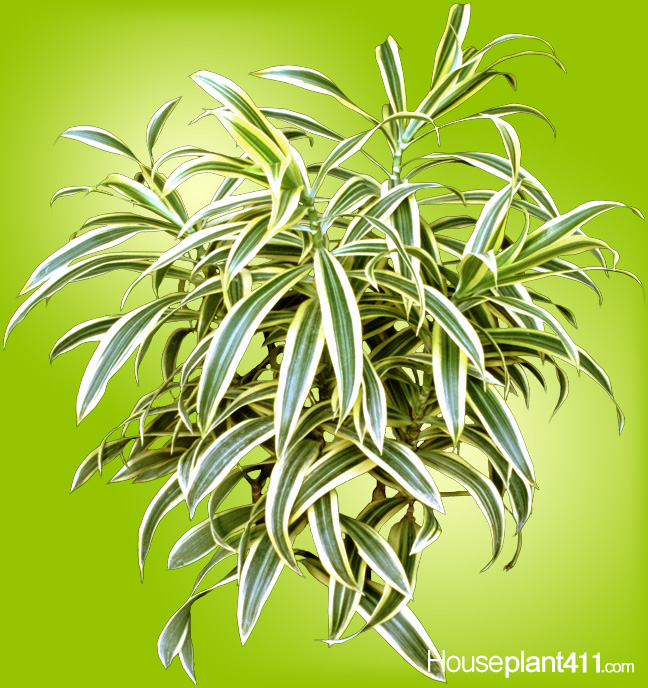 "Short, yellow and green striped, leaves on dracaena reflex ""Song of India."""