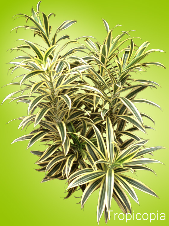 Yellow and green stripes on Dracaena Reflexa-Song of India Plant