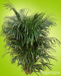 Green, feathery Areca Palm