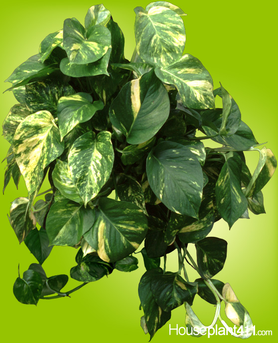 Yellow and green heart shaped leaves on golden pothos plant