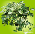 Green and white heart shaped, shiny, leathery leaves on marble queen pothos.