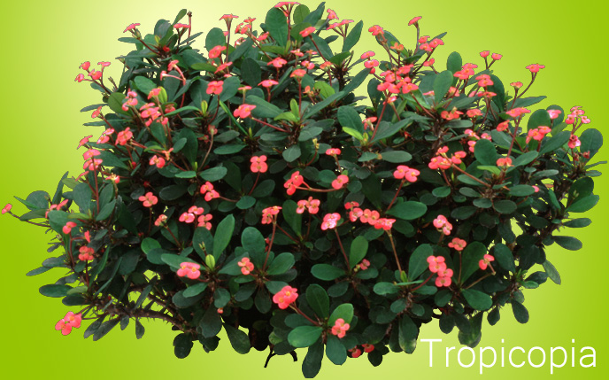 Red thorny Crown of Thorns Plant