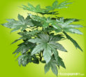 Shiny, leathery, green palmate (hand-shaped) leaves that grow at the ends of stiff stems.