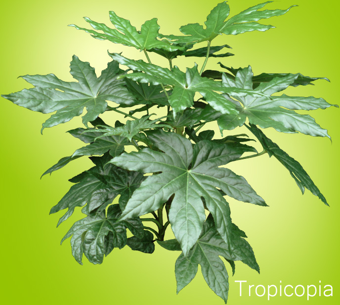 shiny green palmate fatsia plant click to enlarge