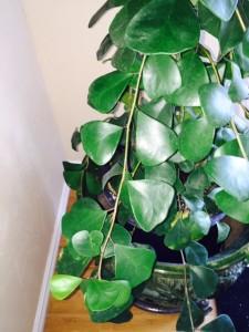 Triangle Ficus or Ficus Triangularis has dark green triangle shaped leaves. .