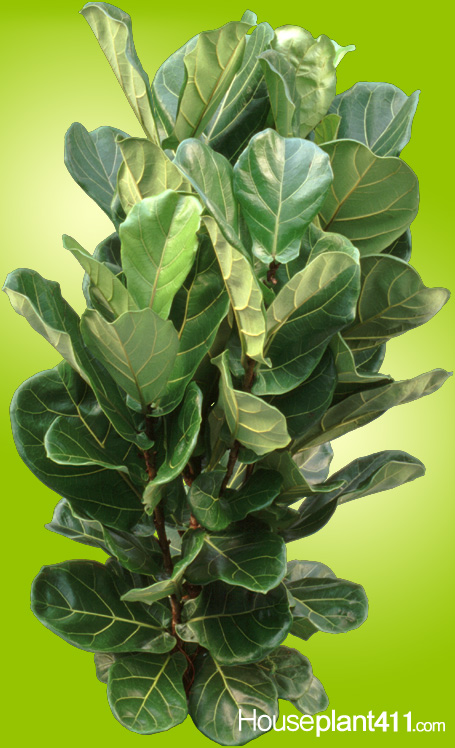 A Fiddle Leaf Fig plant has large., dark green, leathery leaves that resemble a violin .