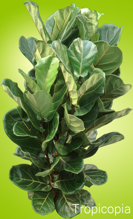 hard wide dark green ficus lyrata plant click to enlarge