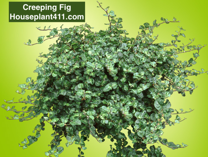 Creeping fig has small heart- shaped leaves that grow on wiry stems.