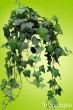 Small, dark green, leathery English Ivy Plant.