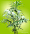 Kenta Palm has long, feathery, dark green fronds coming off of a single thin trunk.