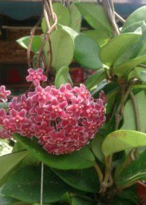 Pink flowering Hoya Plant