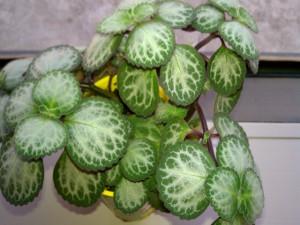 episcia-plant