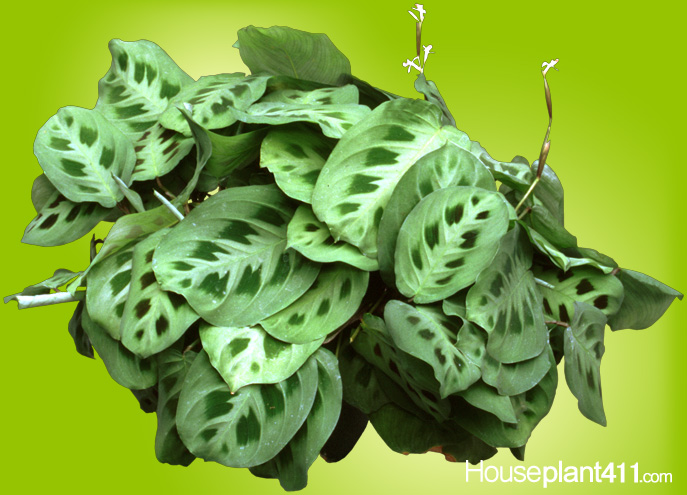 Large patterned leaves with hues of red, green, brown, and cream, on a Prayer Plant.