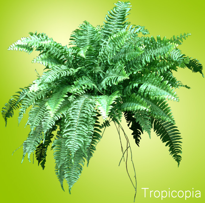 Boston Fern How To Grow Care And Maintenance Houseplant 411