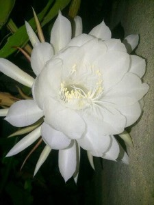 Large whhite flower on Night Blooming Cereus Plant