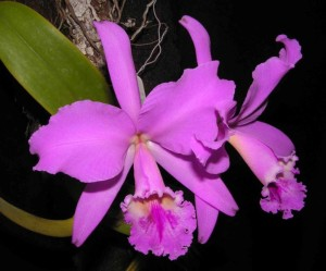 Purple Cattleya Orchid